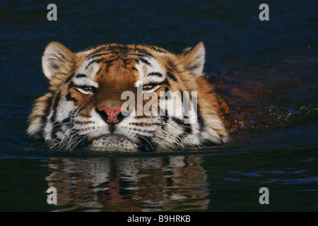 Closeup portrait of a swimming Siberian tiger - Stock Photo