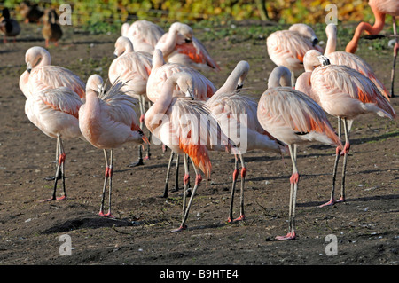 Group of Chilean Flamingos (Phoenicopterus chilensis), resting - Stock Photo