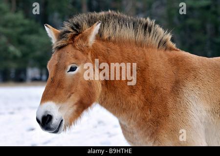 Przewalski's Horse (Przewalski's Horse), portrait - Stock Photo