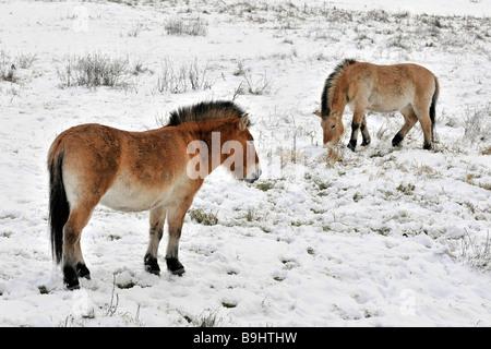 Przewalski's Horse (Przewalski's Horse), on wintery meadow - Stock Photo