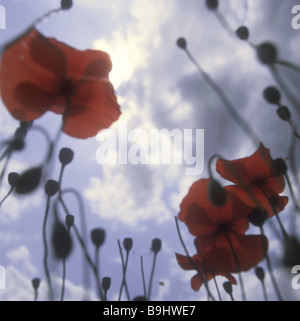 corn poppy clouds nature botany plant flowers bloom-plants Rosopsida Eudicots poppies gossip-roses bloom buds stems - Stock Photo