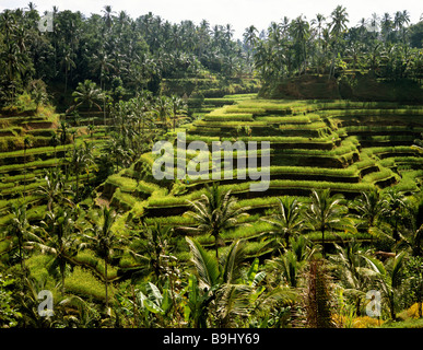 Rice paddies near Ubud, Bali, Indonesia, south-east Asia - Stock Photo