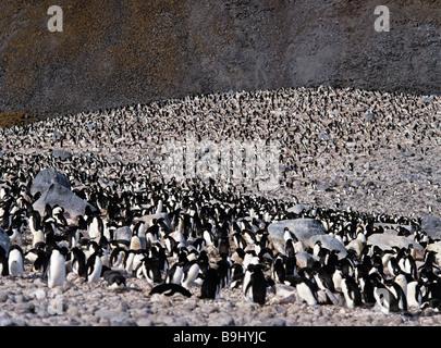 Adelie Penguins (Pygoscelis adeliae), colony, penguins, Antarctic - Stock Photo