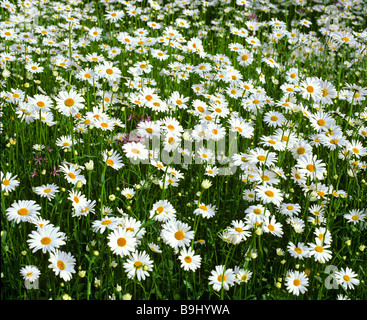 Marguerites (Leucanthemum), flower meadow in summer - Stock Photo