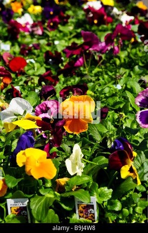 Pansies for sale for planting in spring - Stock Photo