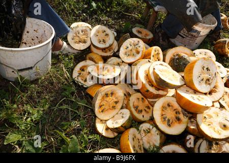Harvesting of pumpkin seeds in Leutschach, Styria, Austria, Europe - Stock Photo