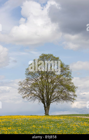 Tree standing in a field of dandelions under a blue sky with clouds in the spring - Stock Photo