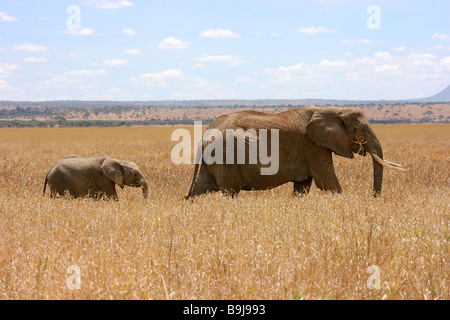 Two African bush elephants (Loxodonta africana) walking and foraging in the long grasses of Tangarire National Park, - Stock Photo