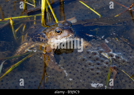 Common Frog (Rana temporaria) in a large cluster of frogspawn - Stock Photo