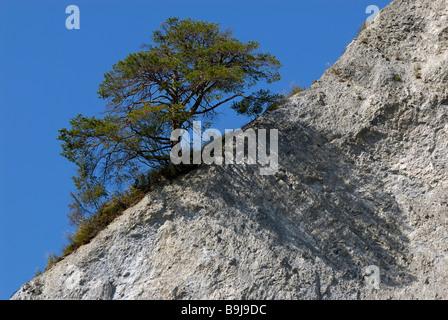 Scots Pine (Pinus sylvestris), solitary tree casting shadow on diagonal rock chine, Ruinaulta, Kanton Graubuenden, - Stock Photo