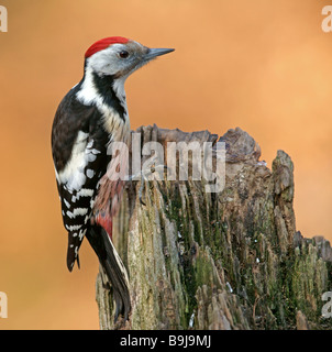 Middle Spotted Woodpecker (Dendrocopos medius, Picoides medius) - Stock Photo
