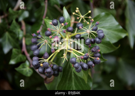 A Cluster of Black Berries, the Fruit of the Ivy, Hedera helix, Araliaceae - Stock Photo