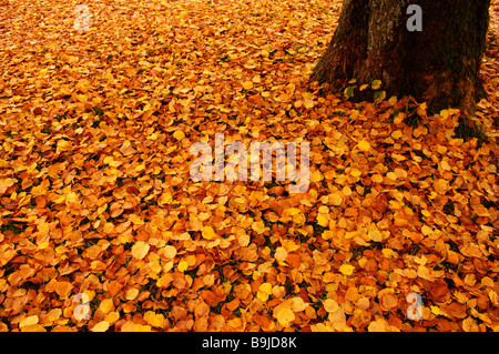 Fallen autumn leaves of a Large-leaved Linden or Large-leaved Lime (Tilia platyphyllo) - Stock Photo