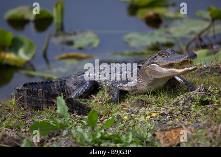 Young american alligator next to a pond that picked up an apple core in its mouth - Stock Photo