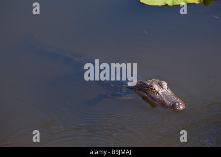 Young american alligator floating in a small pond in Florida - Stock Photo