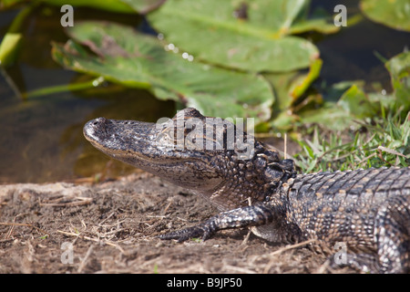 Young american alligator basking in the sun next to a small pond in Florida - Stock Photo