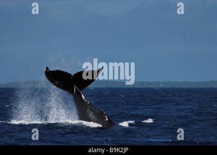 Humpback whale Megaptera novaeangliae tail slapping Ha apai Group Tonga - Stock Photo