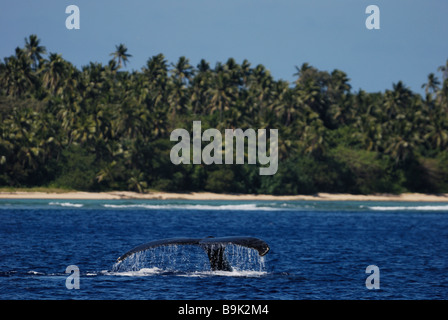Humpback whale  Megaptera novaeangliae diving close to shore Ha apai Group Tonga - Stock Photo