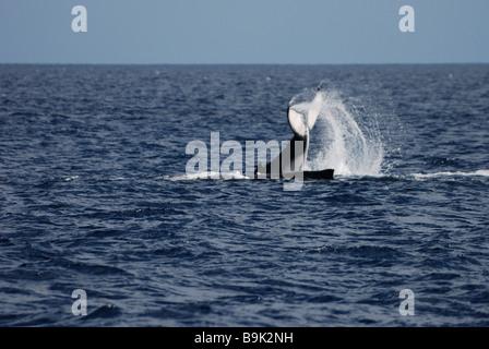 Humpback whale calf Megaptera novaeangliae tail slapping next to mother Ha apai Group Tonga - Stock Photo