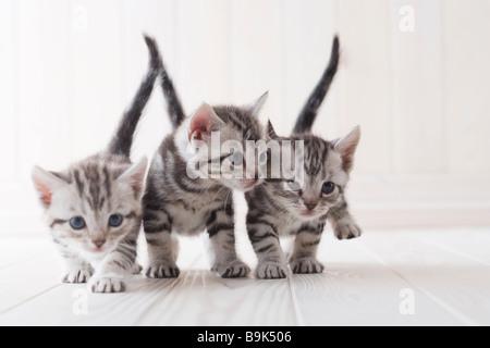 Three American shorthair playing