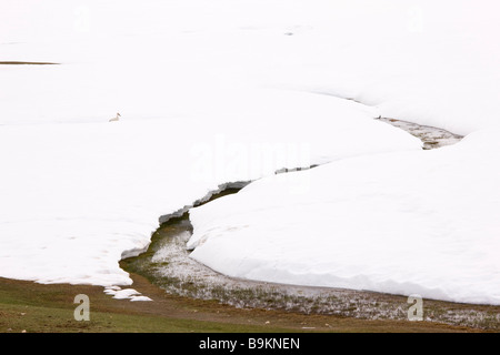 White stork Ciconia ciconia feeding in the snow near Col du Zad Middle Atlas Mountains Morocco - Stock Photo