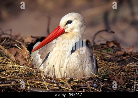 European White Stork (Ciconia ciconia), breeding - Stock Photo