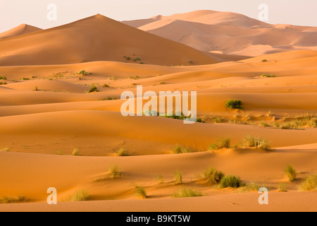 in the high Erg Chebbi sand dunes Moroccan Sahara Desert after very wet winter spring 2009 Morocco - Stock Photo