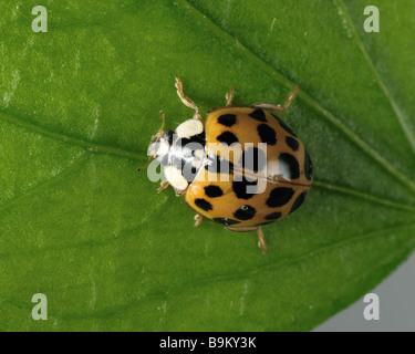 Harlequin ladybird Harmonia axyridis variation red background with several small black spots - Stock Photo