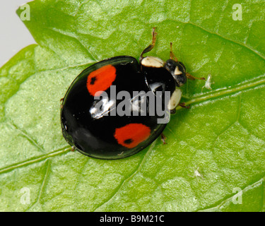 Harlequin ladybird Harmonia axyridis black colour variation with two red spots - Stock Photo