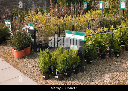 Rows of hedging plants for sale in a garden centre in March - Stock Photo