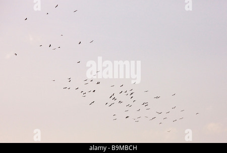 Large flock of White Storks Ciconia ciconia circling on a thermal to cross The High Atlas Haut Atlas mountains Morocco - Stock Photo