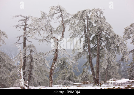 Ancient Black Pine forest Pinus nigra ssp pallasiana in snow and freezing fog high in the Troodos Mountains Greek - Stock Photo