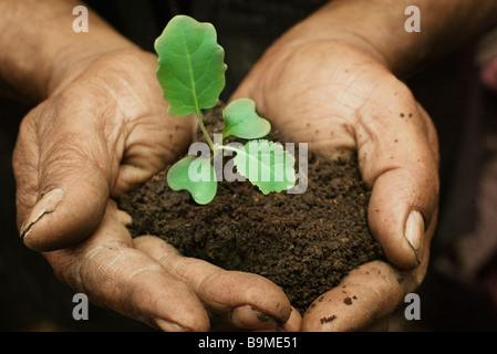 Cauliflower seedling in hands