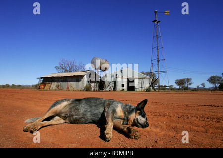 Cattle dog asleep on farm - Stock Photo