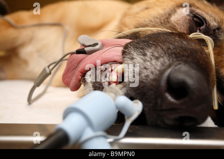 Dog aniethesised in veterinary surgery - Stock Photo