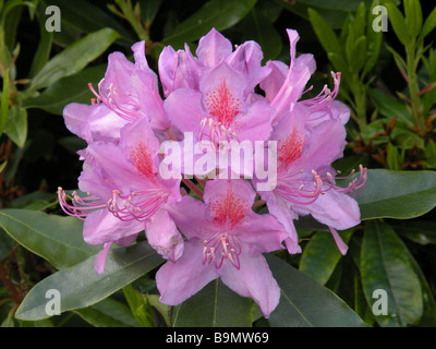 Rhododendron (Rhododendron ponticum) in full bloom - Stock Photo