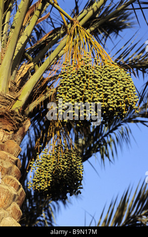Egypt, Nile Valley, Luxor, date palm tree - Stock Photo