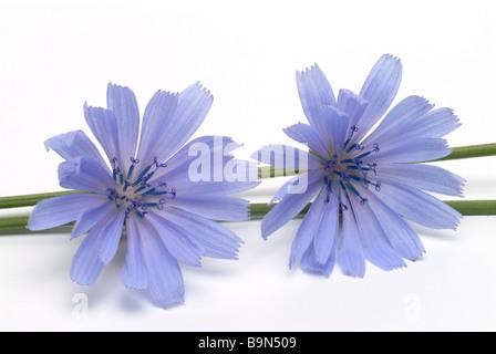Medicinal plant Wegwarte Blauwarte Zichorie Chicory Blue daisy common chicory Cichorium intybus - Stock Photo