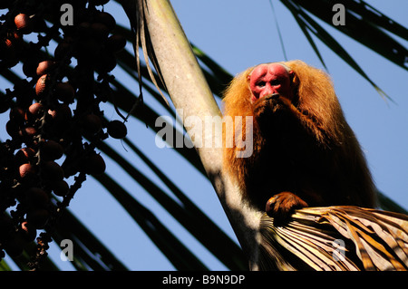 Red uakari monkey Cacajao calvus ucayalii WILD Yavari River Peru - Stock Photo