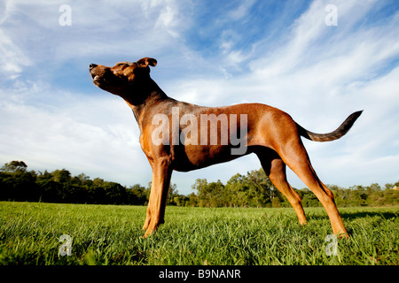 Staffordshire terrior-cross standing in a park - Stock Photo