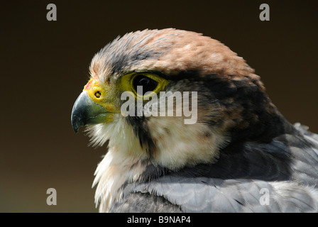 Lanner Falcon - Stock Photo