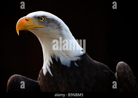 The Bald Eagle (Haliaeetus leucocephalus)  is a bird of prey - Stock Photo