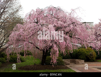 Weeping Higan Cherry tree in full bloom (Prunus subhirtella) 'Pendula' - Stock Photo