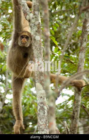 Northern muriqui Brachyteles hypoxanthus the largest monkey of the Americas Caratinga Minas Gerais Brazil - Stock Photo