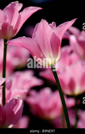 Tulpe in einem Tulpenbeet - Stock Photo