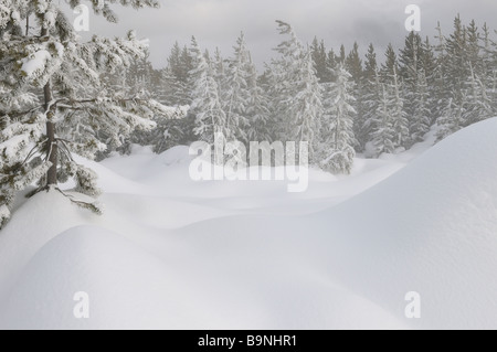 Snow covered Lodgepole Pine forest near steaming Springs of Norris Geyser Basin Yellowstone National Park Wyoming - Stock Photo