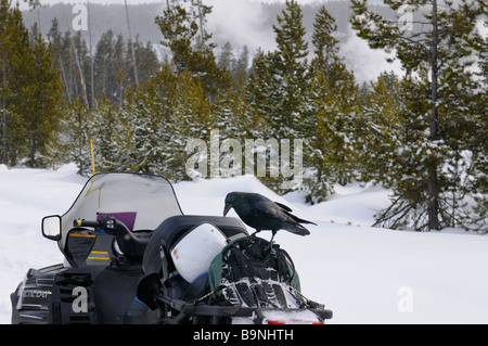 Raven looking to pick snacks out of a backpack on a snowmobile in winter at Norris Geyser Basin Yellowstone Park - Stock Photo