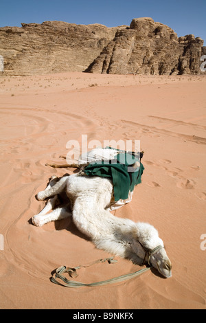 A camel resting on the sand in the desert heat, Wadi Rum, Jordan - Stock Photo