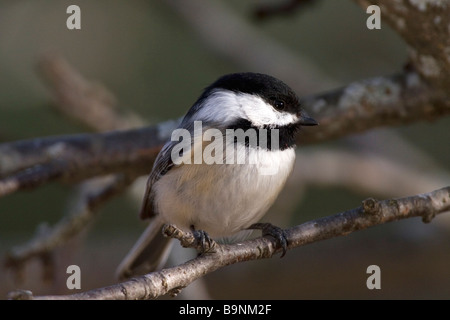 A Black Capped Chickadee perched on a tree branch. - Stock Photo