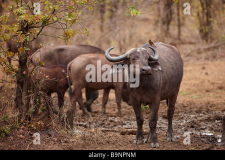 African buffalo with a red billed oxpecker bird on its back, Kruger National Park, South Africa - Stock Photo